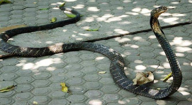 Lolos Dari Maut, Pria Bekasi Ini Nyaris Dipatok Ular Cobra